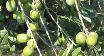 oilpulse-aceitunas-aceite-oliva-virgen