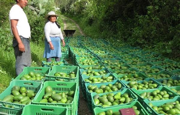 Aguacate colombiano salva la caída de las exportaciones