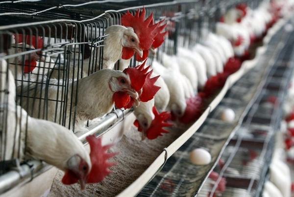 Gripe aviar de Estados Unidos beneficia a Argentina
