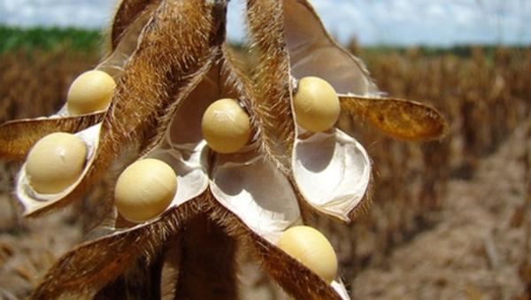 Panama espera aumentar su cosecha de soja