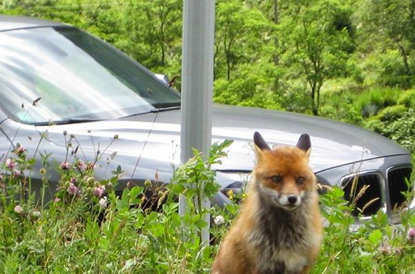 animal-caza-accidente-coche
