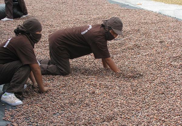 Cacao-produccion
