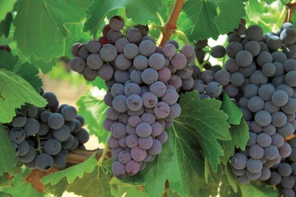 Mexico comienza exportacion de uva a Australia