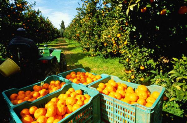 recolección-de-naranjas