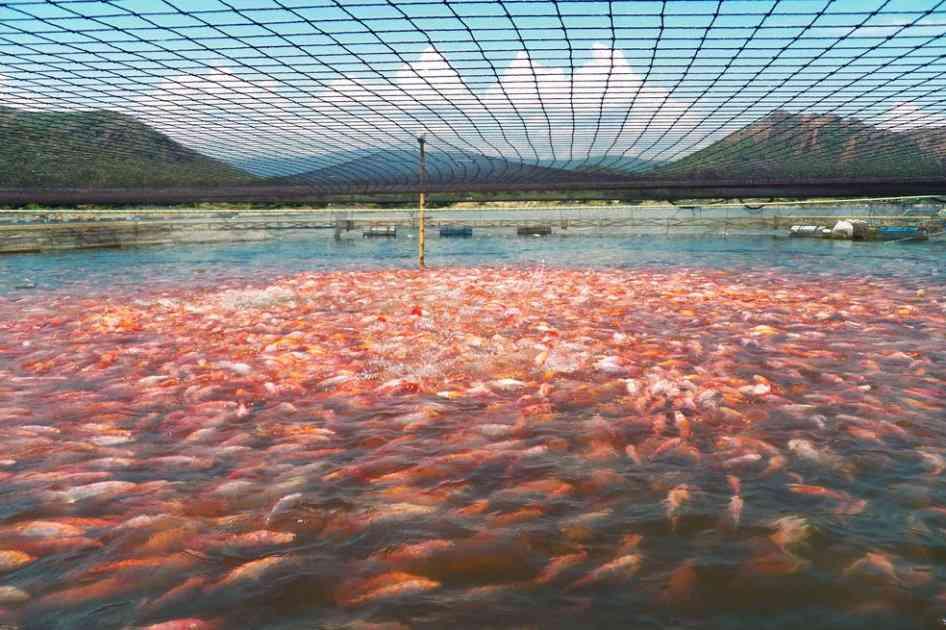 Colombia apuesta por la exportaci n de tilapia y otros for Cria de tilapia en estanques plasticos
