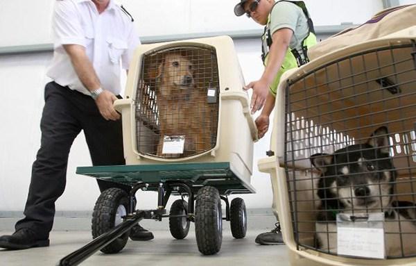 Transporte aéreo de animales