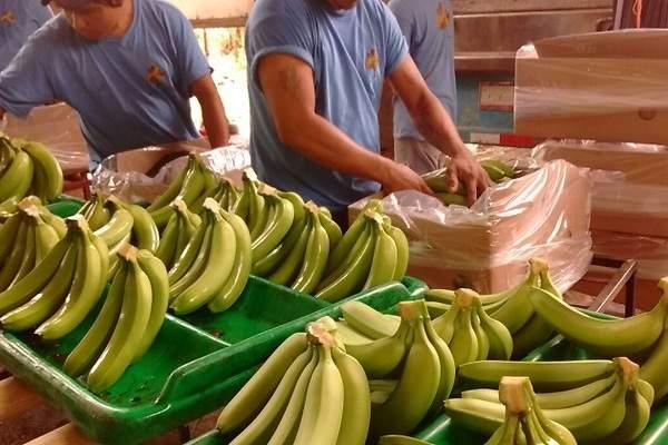 banano honduras