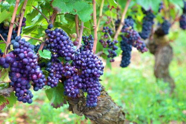China recibirá aproximadamente 3.000 toneladas de uvas gracias a España. Loginews