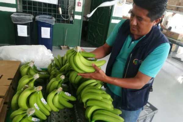 banano ecuador mosca jorobada