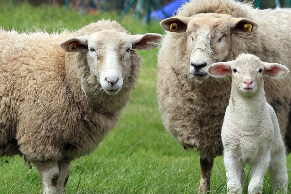 carne ovina argentina