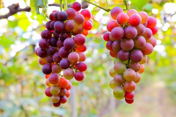 uva de mesa chile