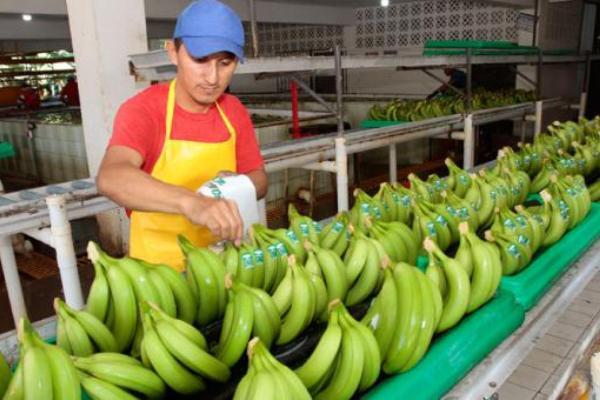 banano ecuador