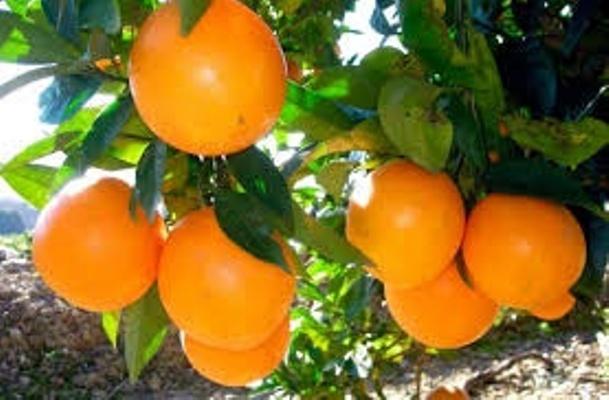 naranjas navel