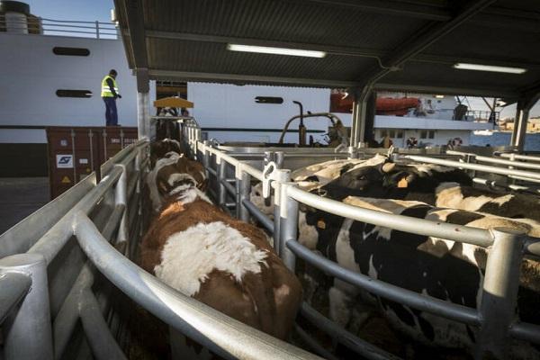 El Puerto de Cartagena detiene el transporte de ganado vivo temporalmente